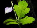 Gemeine Akelei Blatt gruen Aquilegia vulgaris 13