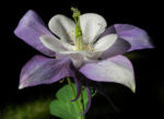 Gemeine Akelei Bluete weiss lila Aquilegia vulgaris 09