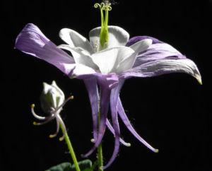 Gemeine Akelei Bluete weiss lila Aquilegia vulgaris 10