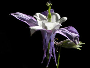 Gemeine Akelei Bluete weiss lila Aquilegia vulgaris 11