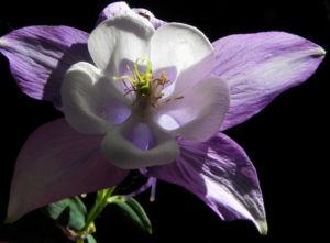 Gemeine Akelei Bluete weiss lila Aquilegia vulgaris 13