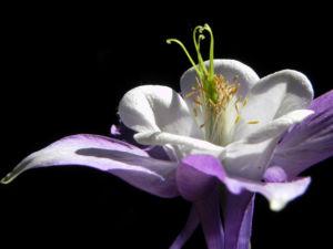 Gemeine Akelei Bluete weiss lila Aquilegia vulgaris 15