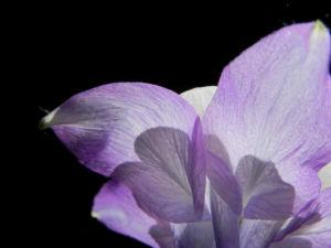 Gemeine Akelei Bluete weiss lila Aquilegia vulgaris 20