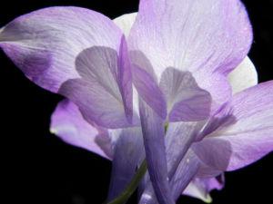 Gemeine Akelei Bluete weiss lila Aquilegia vulgaris 21