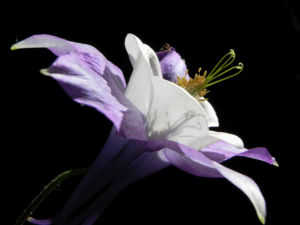 Gemeine Akelei Bluete weiss lila Aquilegia vulgaris 22