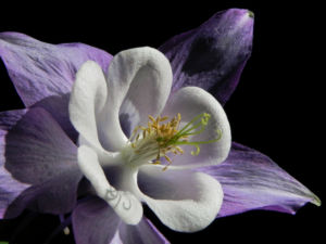 Gemeine Akelei Bluete weiss lila Aquilegia vulgaris 23
