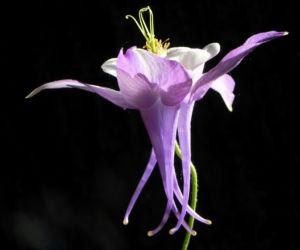 Gemeine Akelei Bluete weiss lila Aquilegia vulgaris 28