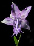 Bild: Gemeine Akelei Blatt gruen Blüte weiß lila Aquilegia vulgaris