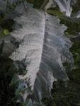 Gemeine Eselsdistel Blatt gruen silber Onopordum acanthium 01