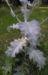 Zurück zum kompletten Bilderset Gemeine-Eselsdistel Blüte lila Onopordum acanthium