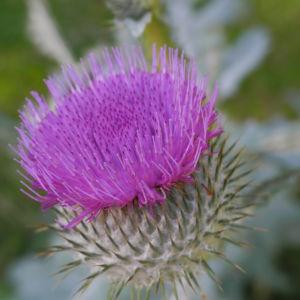Gemeine Eselsdistel Bluete lila Onopordum acanthium 04