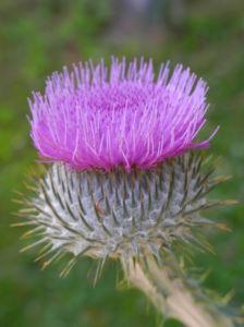 Gemeine Eselsdistel Bluete lila Onopordum acanthium 06