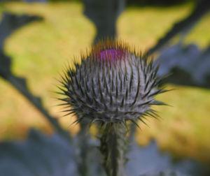 Gemeine Eselsdistel Bluete lila Onopordum acanthium 09
