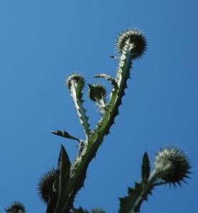 Gemeine Eselsdistel Staengel silber Onopordum acanthium 01