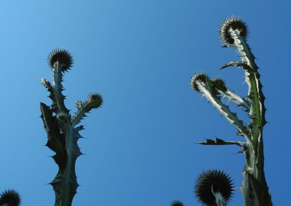 Gemeine Eselsdistel Staengel silber Onopordum acanthium