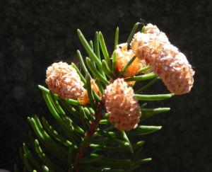 Gemeine Fichte Bluete braun Picea abies 04
