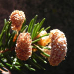 Gemeine Fichte Bluete braun Picea abies 08