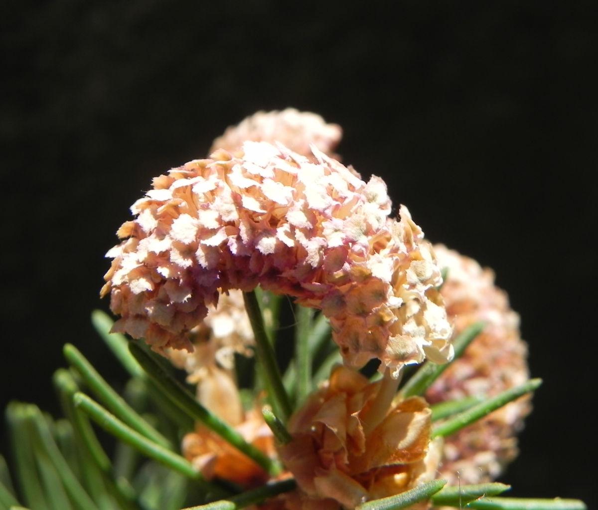 Gemeine Fichte Bluete braun Picea abies