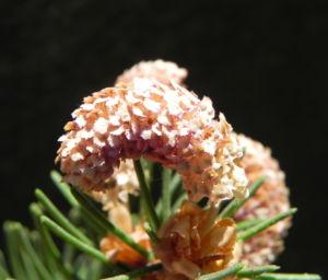 Gemeine Fichte Bluete braun Picea abies 10