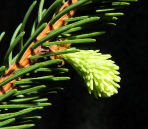 Gemeine Fichte Nadel gruen Picea abies 01