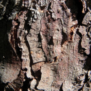 Gemeine Fichte Rinde grau Picea abies 05