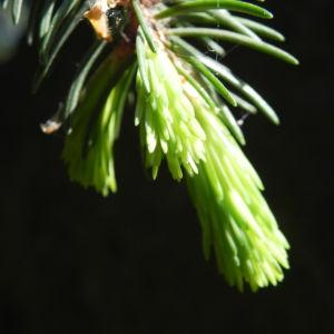 Gemeine Fichte Trieb gruen Picea abies 09