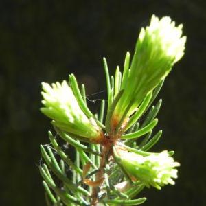 Gemeine Fichte Trieb gruen Picea abies 12