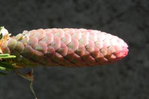 Gemeine Fichte Zapfen rotbraun Picea abies 06