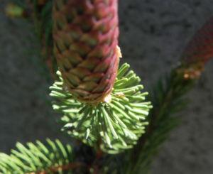 Gemeine Fichte Zapfen rotbraun Picea abies 10