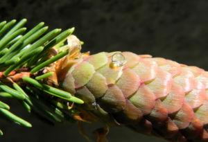 Gemeine Fichte Zapfen rotbraun Picea abies 12