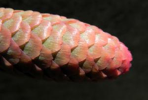 Gemeine Fichte Zapfen rotbraun Picea abies 13