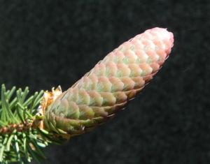 Gemeine Fichte Zapfen rotbraun Picea abies 14