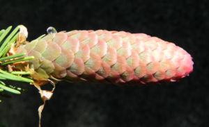 Gemeine Fichte Zapfen rötlich Nadel grün Picea abies