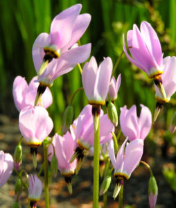 Gemeine Goetterblume Bluete rosa Dodecatheon meadia 07