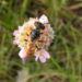 Zurück zum kompletten Bilderset Gemeine Grasnelke Blüte rose - Armeria maritima subspecies elongata