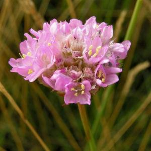 Gemeine Grasnelke Bluete rose Armeria maritima subspecies elongata 05