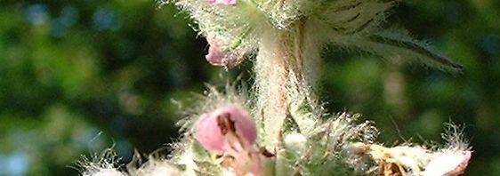 Anklicken um das ganze Bild zu sehen Gemeiner Wirbeldost Blüte Clinopodium vulgare