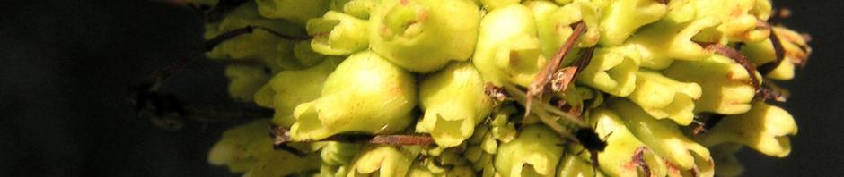 knopfbusch-frucht-cephalanthus-occidentalis