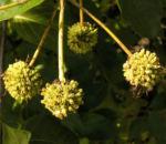 Gemeine Kopfblume Frucht Cephalanthus occidentalis 05