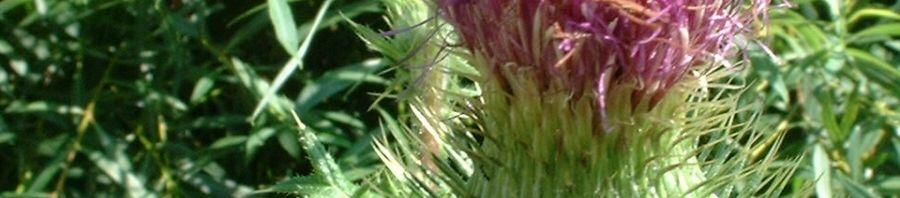 Anklicken um das ganze Bild zu sehen  Gewöhnliche Kratzdistel Blüte pink Cirsium vulgare