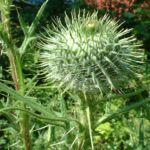 Gemeine Kratzdistel Cirsium vulgare 03