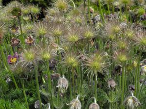Gemeine Kuechenschelle Samen Pulsatilla vulgaris 01