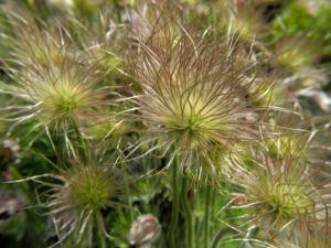 Gemeine Kuechenschelle Samen Pulsatilla vulgaris 03