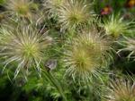 Gemeine Kuechenschelle Samen Pulsatilla vulgaris 04