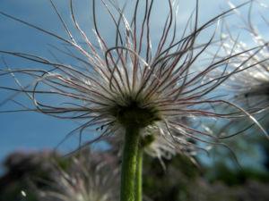 Gemeine Kuechenschelle Samen Pulsatilla vulgaris 07
