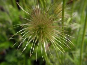 Gemeine Kuechenschelle Samen Pulsatilla vulgaris 08