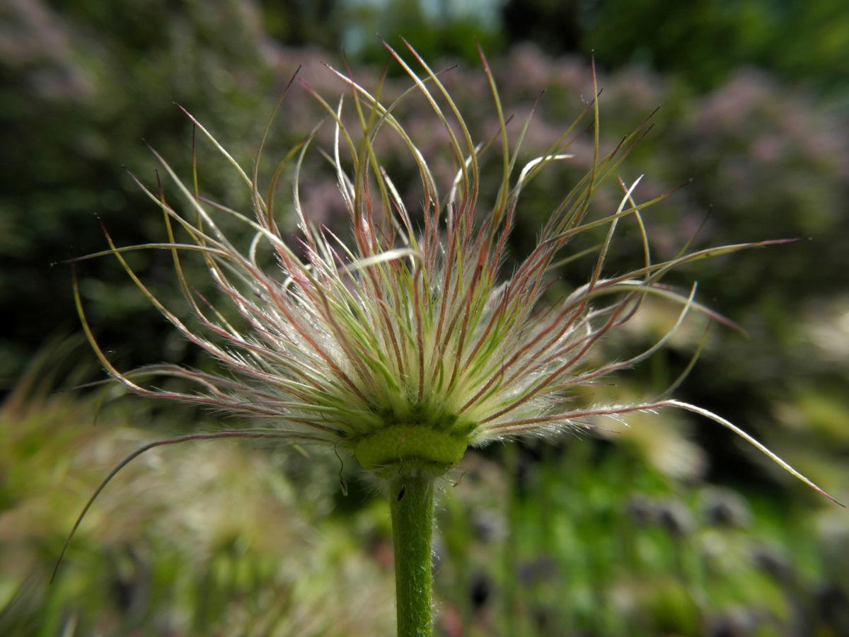 Gemeine Kuechenschelle Samen Pulsatilla vulgaris