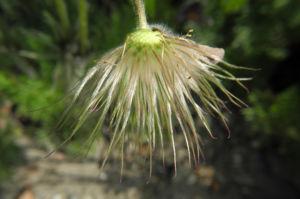 Gemeine Kuechenschelle Samen Pulsatilla vulgaris 10