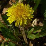 Bild:  Gemeine Kuhblume Blüte gelb Taraxacum officinale