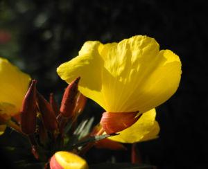 Gemeine Nachtkerze Bluete gelb Oenothera biennis 01